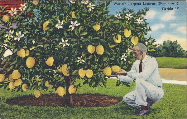 World's largest lemons (Ponderosa)