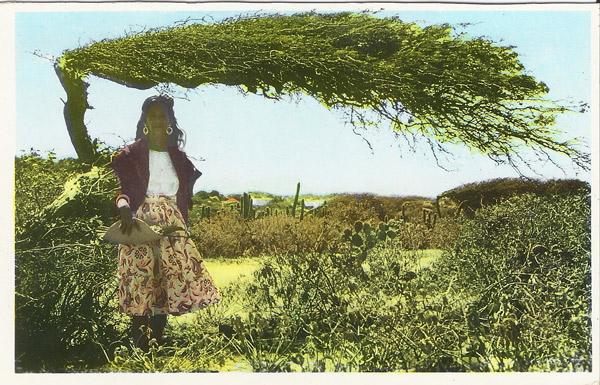 Aruba, Neth. Antilles - Divi Divi Tree