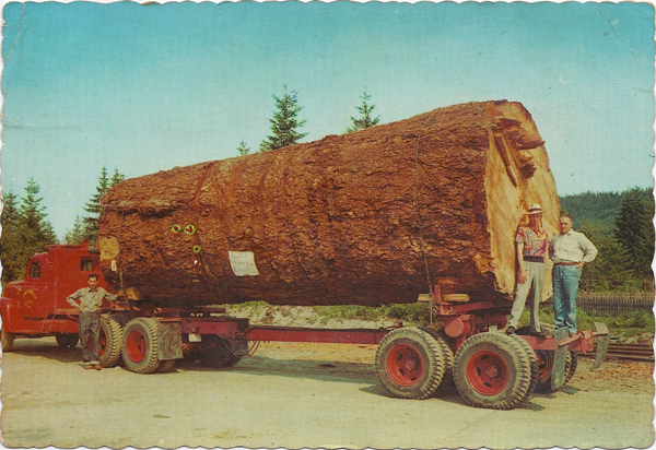 Giant Fir Log. This 13,000 board feet specimen is typical of the giants still found in the virgin forests of Oregon and Washington. A lot of lumber in this one.