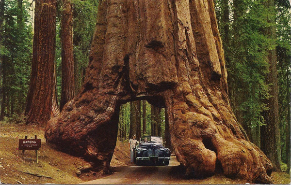 "Yosemite National Park, California. ""Wawona"" Tunnel Tree."